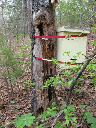 The Bees Proved Totally Indifferent Towards Swarm Trap Attached Right To Their Bee Tree A Preferred Move Into Similar Box Hung Some 50 Ft